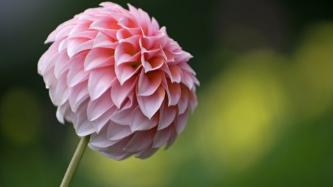 Dahlias wallpapers high quality