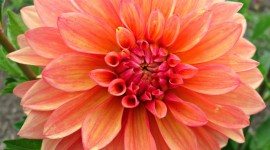 Dahlias Desktop Wallpaper HD