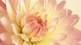 Dahlias Photo