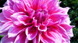 Dahlias Photo Download