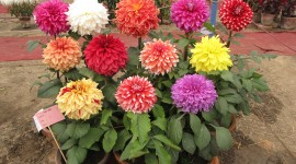 Dahlias Photo Download#1