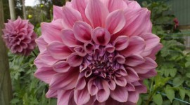 Dahlias Photo Free#1