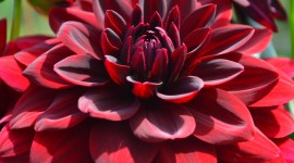 Dahlias Photo#1
