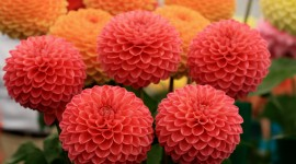 Dahlias Wallpaper Download