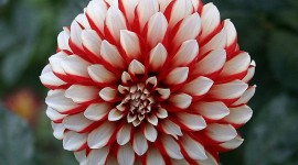 Dahlias Wallpaper Download Free