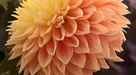 Dahlias Wallpaper For IPhone Download