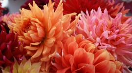 Dahlias Wallpaper Gallery