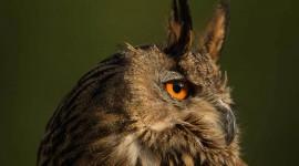 Eagle-Owl Best Wallpaper