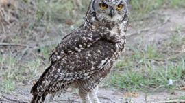 Eagle-Owl High Quality Wallpaper
