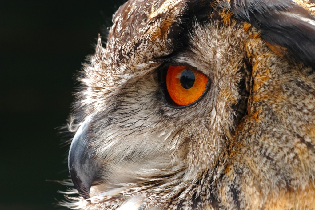 Eagle-Owl wallpapers HD