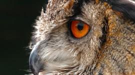 Eagle-Owl Wallpaper 1080p