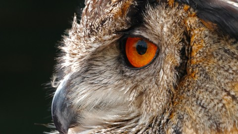Eagle-Owl wallpapers high quality