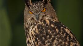 Eagle-Owl Wallpaper
