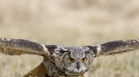 Eagle-Owl Wallpaper Background