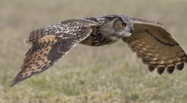 Eagle-Owl Wallpaper Download Free