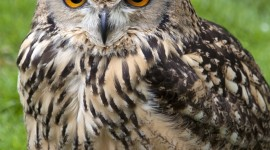 Eagle-Owl Wallpaper For Android
