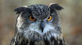 Eagle-Owl Wallpaper For Desktop
