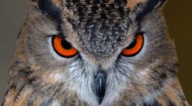 Eagle-Owl Wallpaper For IPhone