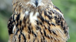 Eagle-Owl Wallpaper For IPhone Download