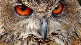 Eagle-Owl Wallpaper For IPhone Free