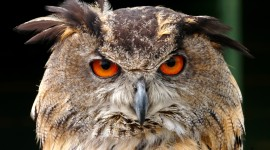Eagle-Owl Wallpaper For PC