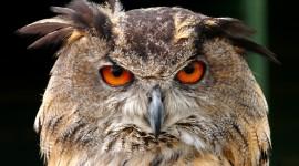 Eagle-Owl Wallpaper For PC