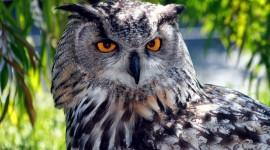 Eagle-Owl Wallpaper Free