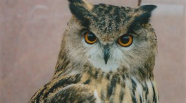 Eagle-Owl Wallpaper Gallery