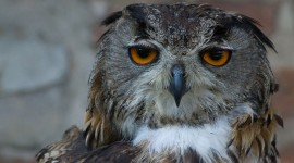 Eagle-Owl Wallpaper High Definition