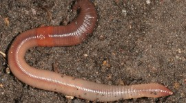 Earthworm Wallpaper For PC