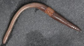 Earthworm Wallpaper Free