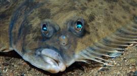 Flounder Desktop Wallpaper HD