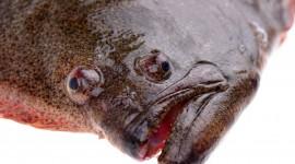 Flounder Wallpaper Background
