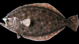 Flounder Wallpaper Full HD