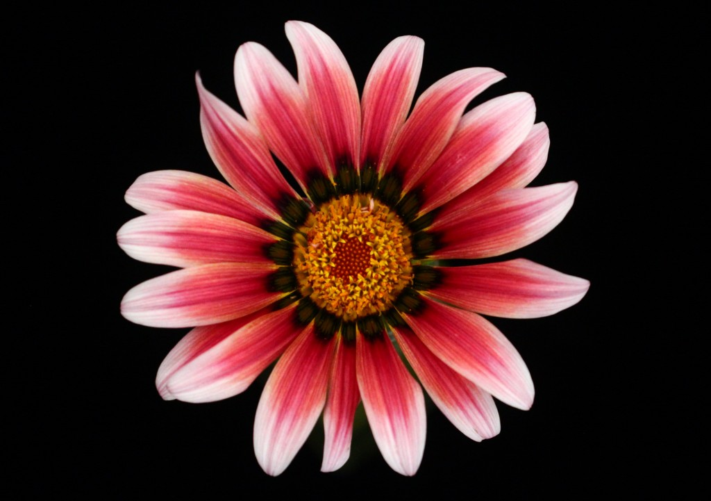 Gazania wallpapers HD