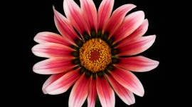 Gazania Best Wallpaper