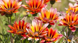 Gazania Photo Download