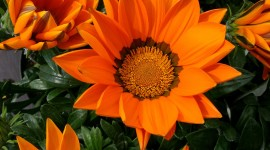 Gazania Wallpaper For Android