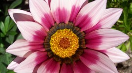 Gazania Wallpaper For IPhone