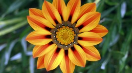 Gazania Wallpaper For PC