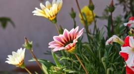 Gazania Wallpaper Full HD