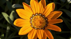 Gazania Wallpaper Gallery