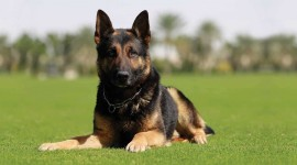 Guard Dog Wallpaper Download Free