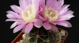 Gymnocalycium Desktop Wallpaper For PC