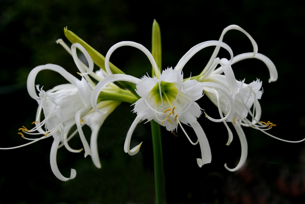 Hymenocallis wallpapers HD