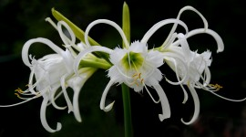 Hymenocallis Best Wallpaper