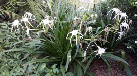 Hymenocallis Desktop Wallpaper HD