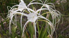 Hymenocallis Photo