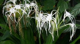 Hymenocallis Photo Download