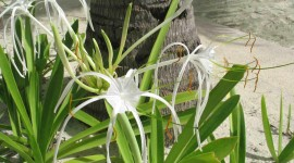 Hymenocallis Photo Free